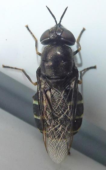 Door fly - Odontomyia