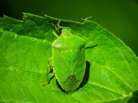 Green Stink Bug (Chinavia hilaris) ??? - Chinavia hilaris
