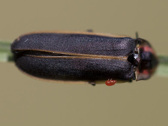 Mite on a beetle - Pyractomena
