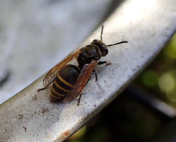 Brachygastra mellifica on fondant tray - Brachygastra mellifica - female