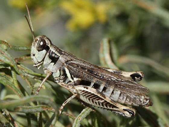 Grasshopper - Melanoplus alpinus - female