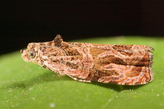 moth - Olethreutes sericoranum