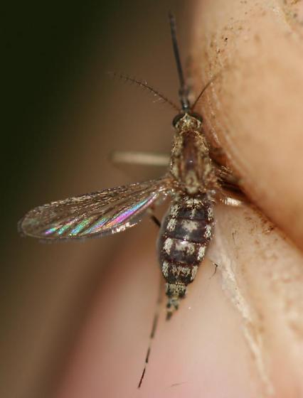 Ochlerotatus fitchii - female