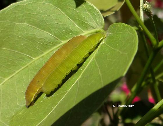 Phoebis caterpillars? - Phoebis agarithe