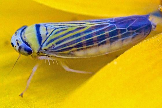 Leafhopper - Colladonus
