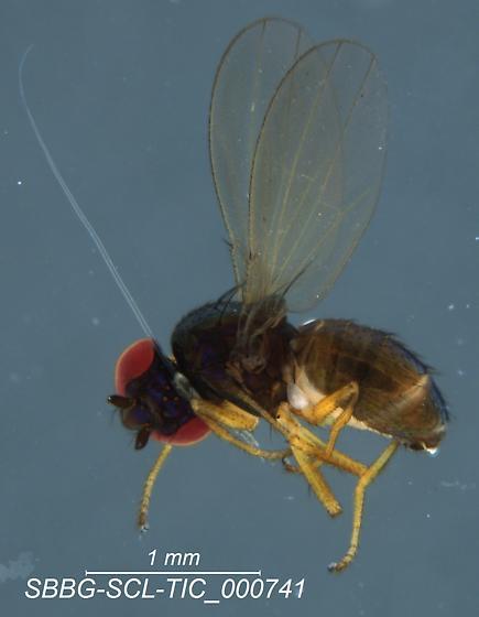 Diptera - Camilla