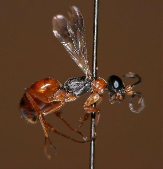 Ohio's first Priocnemis minuscula - Priocnemis minuscula - female