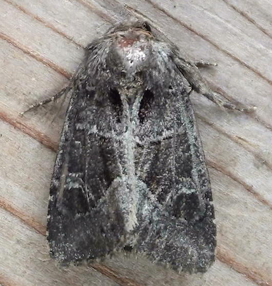 Noctuidae: Oligia obtusa - Oligia obtusa