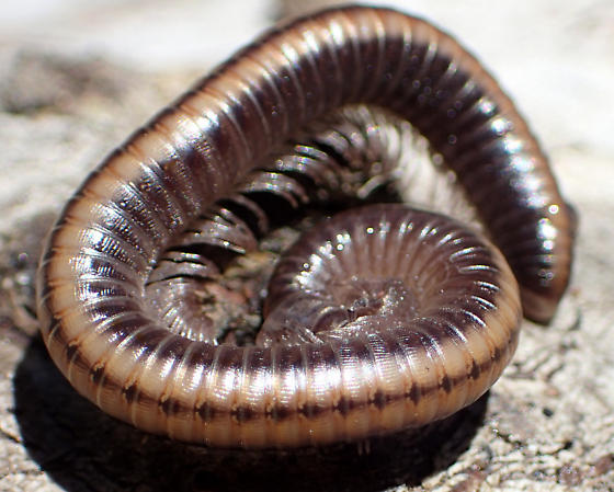 Large milliped with thick stripe - Californiulus yosemitensis