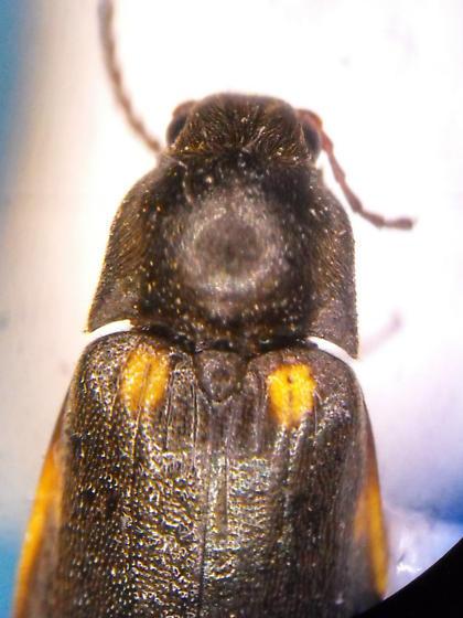 Eanus granicollis