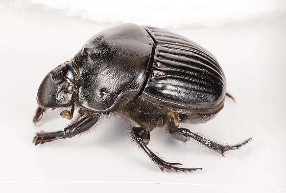 Dung Beetle - Phanaeus triangularis