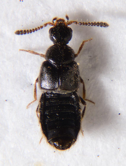 Minute Staphylinid.... - Trichiusa