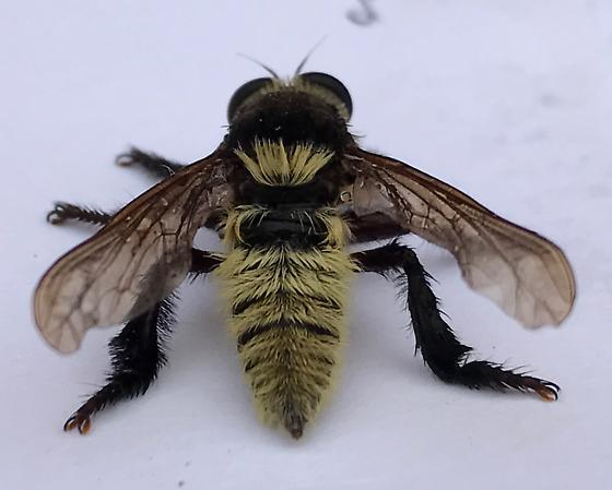 is this a bee? - Mallophora fautrix - female