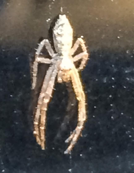 Tiny Pale Spider on the Side of my Car - Tmarus
