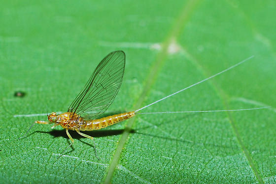 unknown mayfly - Cloeon dipterum