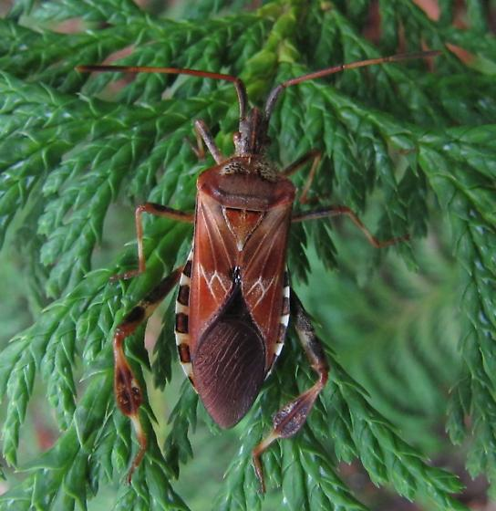 What gorgeous bug, please ? - Leptoglossus occidentalis