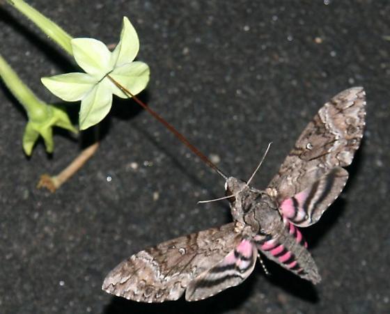 Unknown Hummingbird Moth - Agrius cingulata