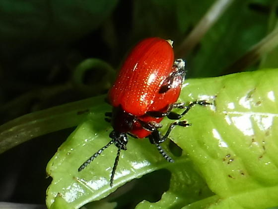 Air potato leaf beetle - Lilioceris cheni - male - female