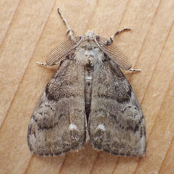 Erebidae: Orgyia leucostigma - Orgyia leucostigma - male