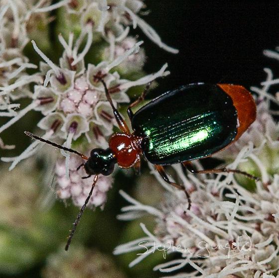 UI Beetle for ID - Lebia viridipennis