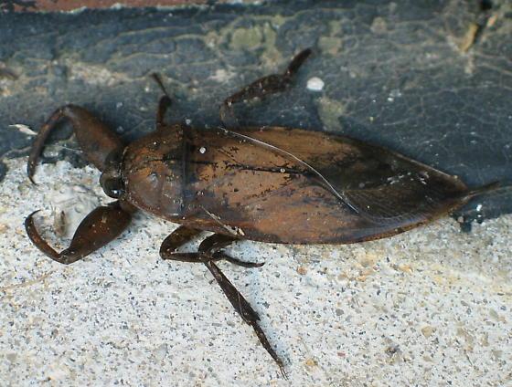 Eastern Toe Biter - Lethocerus uhleri