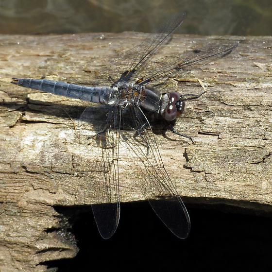 Dragonfly - Ladona deplanata - male