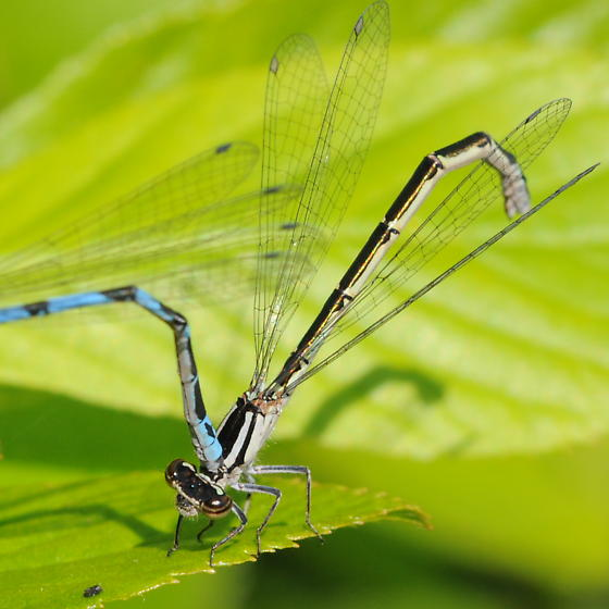 Damselfly - Enallagma laterale - female