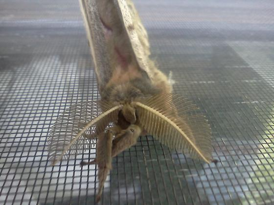 Huge & furry - Antheraea polyphemus