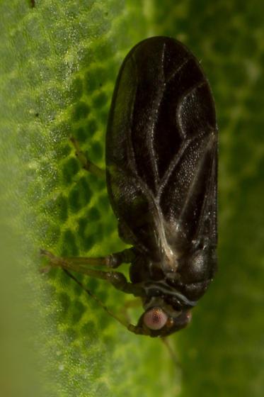 Ceanothia - Ceanothia bicolor