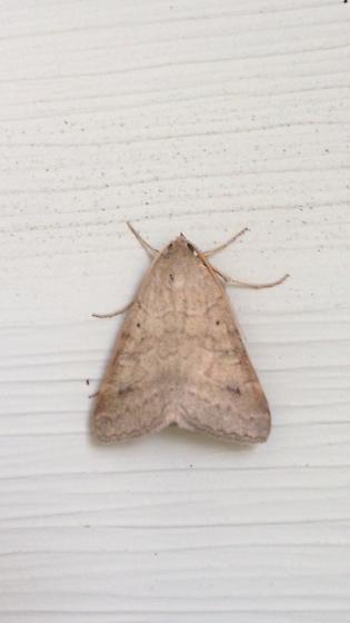 Moth miscellaneous (2)  - Caenurgina