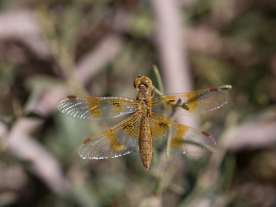 Unknown Dragonfly - Perithemis intensa