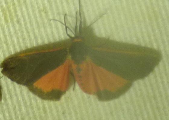 Joyful Holomelina Moth Virbia laeta - Virbia laeta