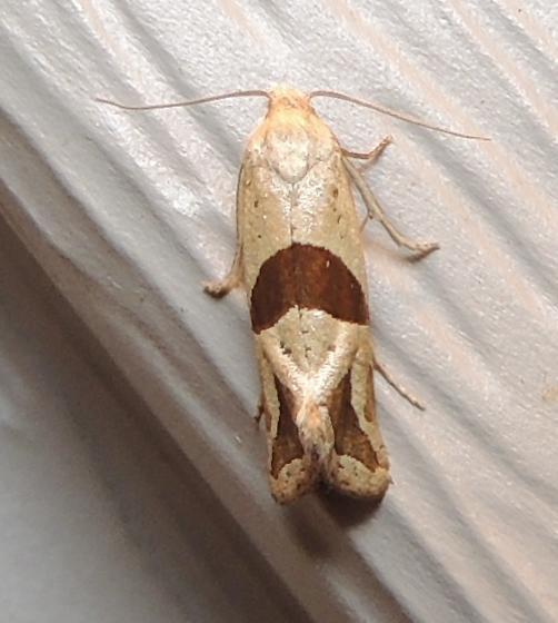 Broad-patch Carolella Moth - Hodges#3764 - Eugnosta sartana