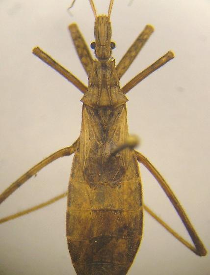 Stenopoda - Stenopoda spinulosa - female