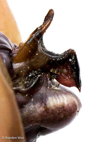 Cyphoderris monstrosa - male