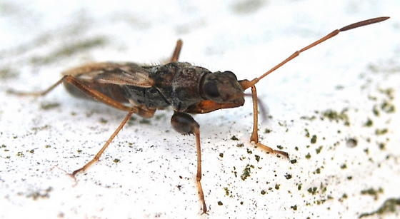 Rhyparochromidae - Neopamera bilobata