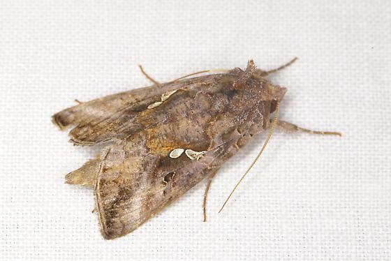 Unknown Moth B - Autographa precationis