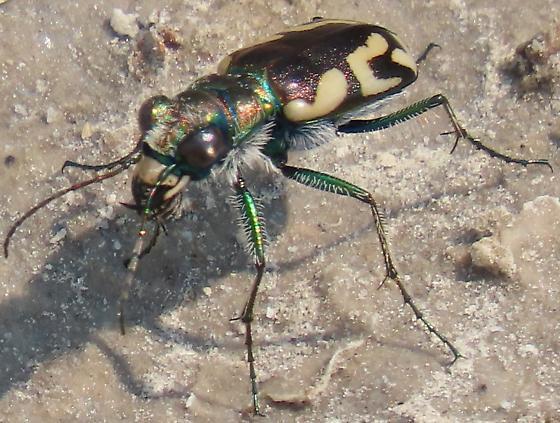 C. p. parownana - Cicindela parowana