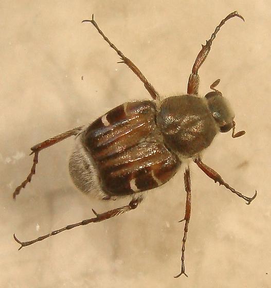 Trichiotinus, but which species? - Trichiotinus piger