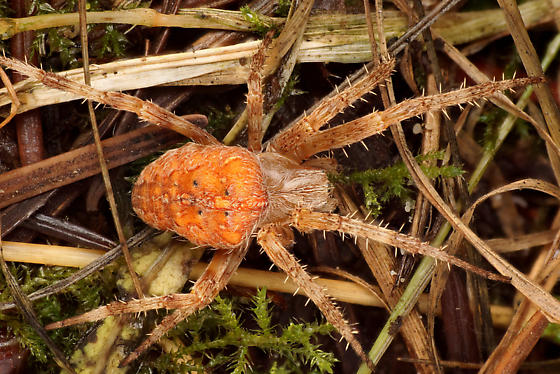 Fall female - Araneus diadematus - female