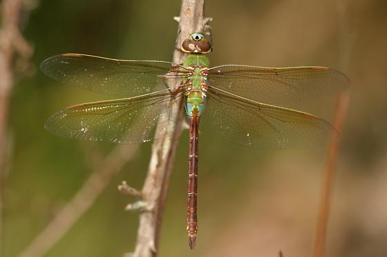 Green Darner - Anax junius - female