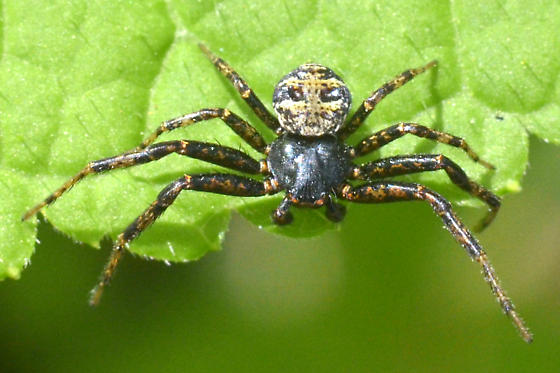 Spider - Bassaniana