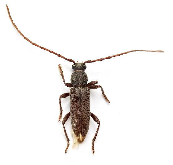 Anelaphus moestus