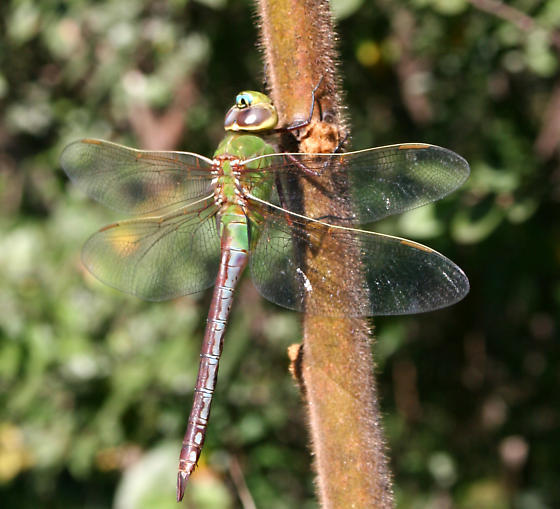 Which Dragonfly? - Anax junius