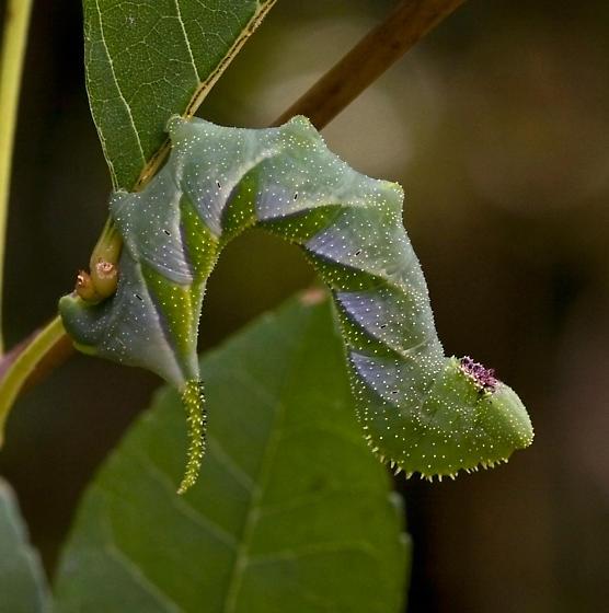 Possible Sphinx Moth Catepillar - ID Please - Manduca rustica