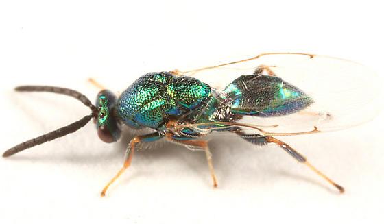 chalcid wasp? - Torymus - male