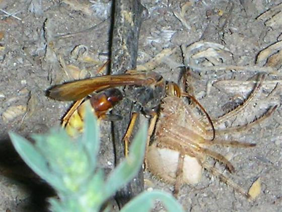Catface Killer - Poecilopompilus algidus - female