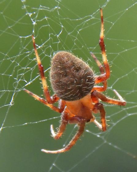 Orange And Brown Spider - Neoscona Crucifera