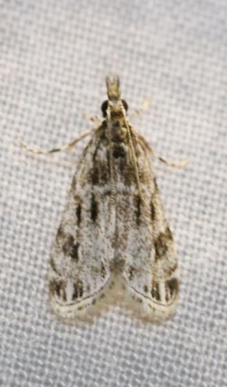 Eudonia strigalis