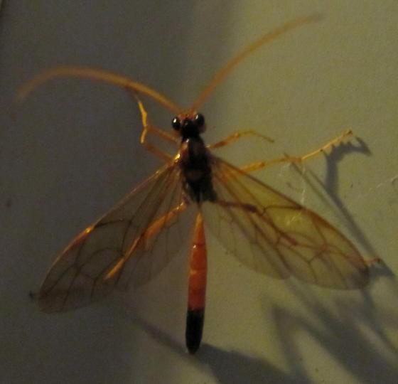 large beautiful attracted to light - Opheltes glaucopterus